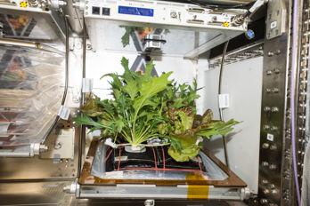 Rymdsallad skördad på rymdstationen